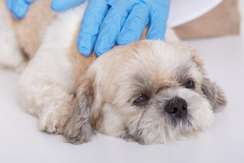terapie veterinara cu laser